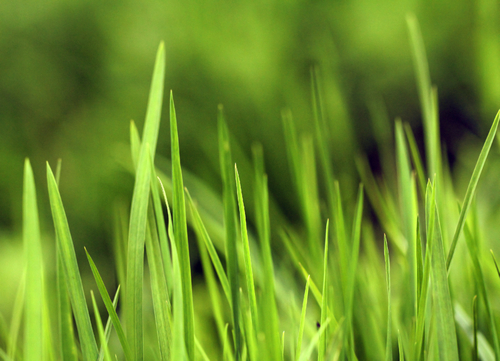 green-grass-closeup